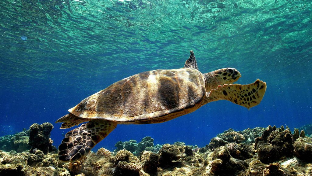 Caretta Caretta nidifica sulla costa di Eboli