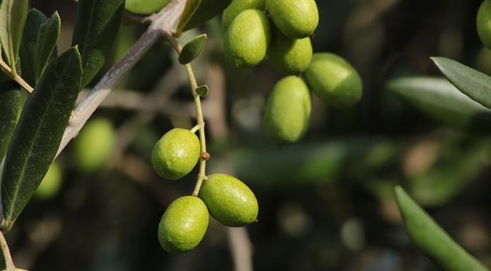 ColdirettI, Prende il via la raccolta delle olive in Italia