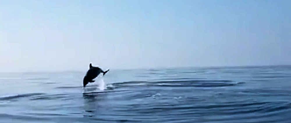 Procida, pescatori liberano cucciolo di delfino: la madre fa salti di gioia – video