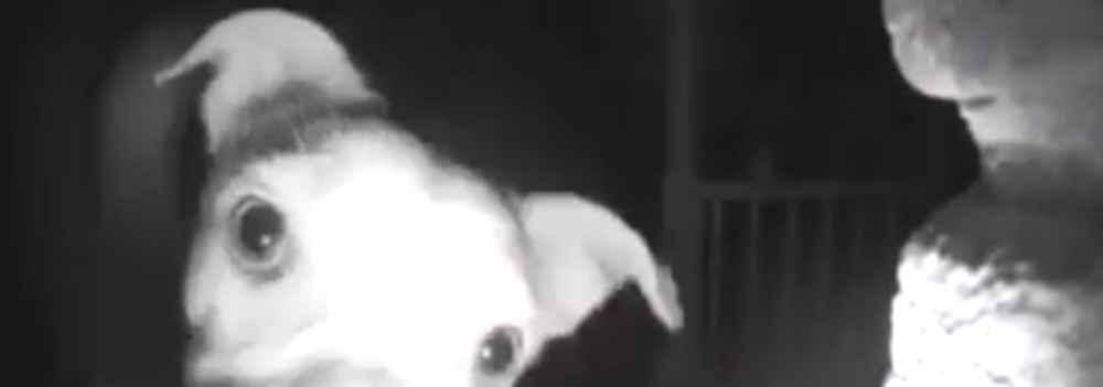 Alle 2 di notte, «Chika» non ha avuto altra scelta che suonare il campanello – video