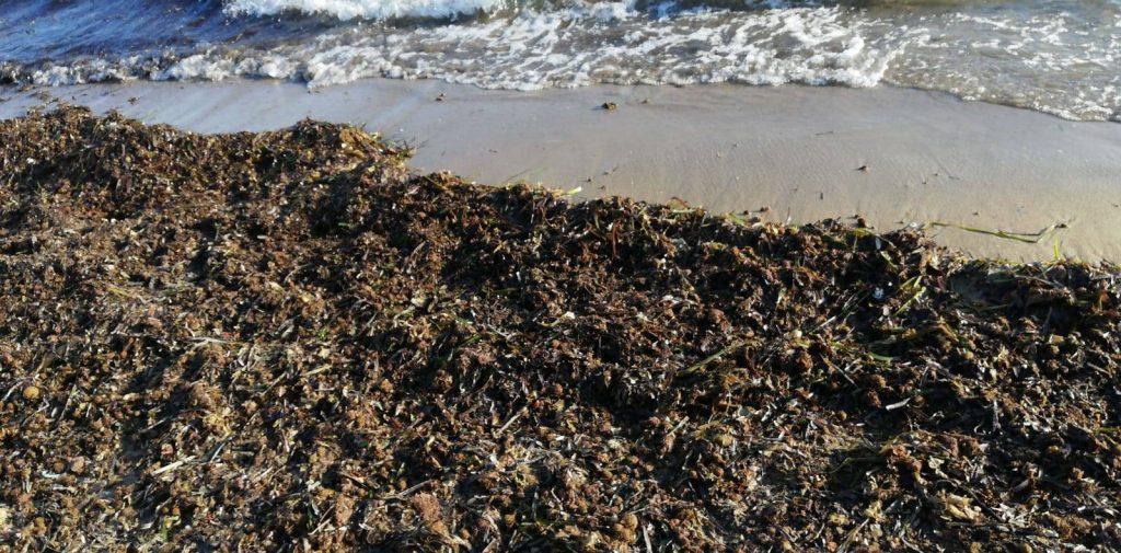 posidonia 1024x505 - Agropoli / Trentova, la posidonia spiaggiata - video a 360°
