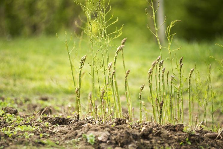 coltivazione asparago selvatico NG2 - Campania, Forestale sequestra 87 kg di asparago selvatico